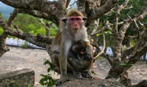 Monkey at Dambulla Cave Temple