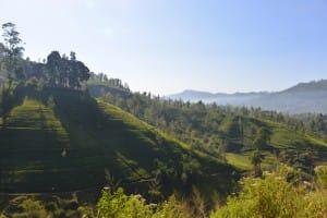 Tea country landscape