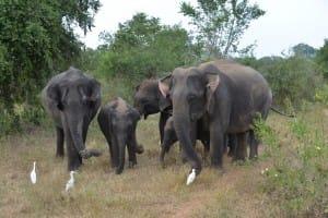Elephant family at Udawalawe National Park