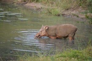 Hippopotamus at Yala National Park