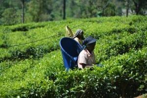Tea leave farmer