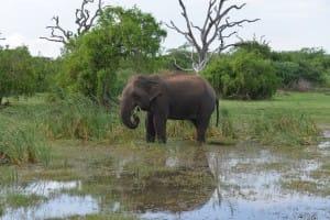 Elephant at Bundala National Park