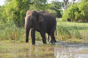 Elephant in water at Bundala National Park