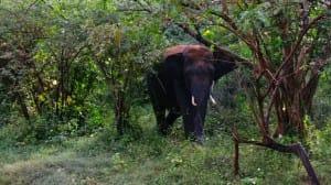 Elephant close up at Yala National Park