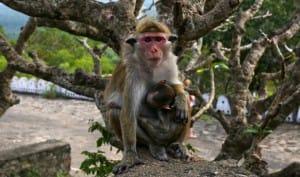 Monkey at Dambulla Cave Temple