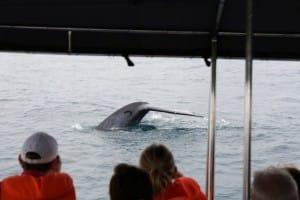 Whale breaching in Mirissa