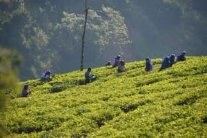 Farmers picking tea leaves