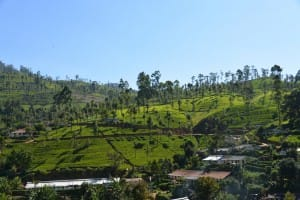 Tea Country landscape