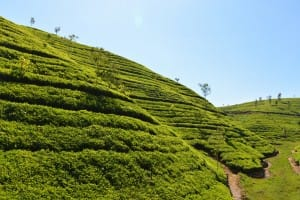 Tea farming on hill