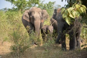 Elephants roaming in Udawalawe National Park