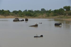 Elephants bathing in water
