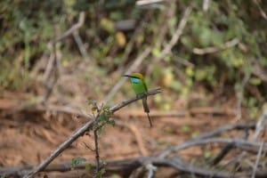 Green bird in Yala National Park