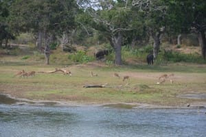Wildlife at Yala National Park