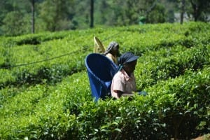 Tea leave farmer