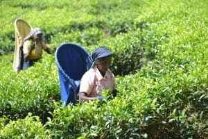 Farmer picking tea leaves